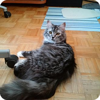 Domestic Longhair Cat for adoption in THORNHILL, Ontario - Mickie