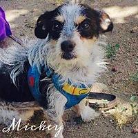 Adopt A Pet :: Mickey - Rancho Santa Fe, CA