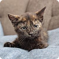 Domestic Shorthair Kitten for adoption in Wayne, New Jersey - Meg
