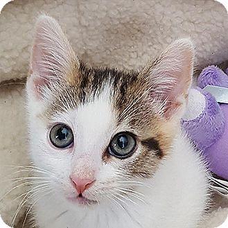 Domestic Shorthair Kitten for adoption in Kanab, Utah - Navabi
