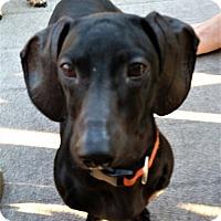 Adopt A Pet :: Toki in PA - Columbia, TN