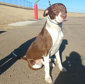 Australian Cattle Dog/Labrador Retriever Mix Dog for adoption in Larned, Kansas - Loki