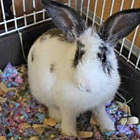 Adopt A Pet :: PRINCESS POPPY - Fort Wayne, IN