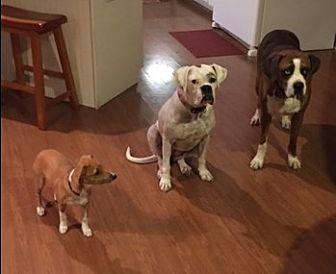 Boxer Dog for adoption in Austin, Texas - Sandra D