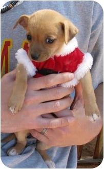 Chihuahua/Dachshund Mix Puppy for adoption in Poway, California - Greta's Babies