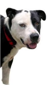 American Bulldog/Border Collie Mix Dog for adoption in Marina del Rey, California - Jonny Quest