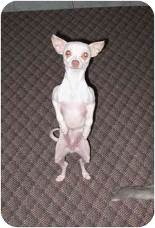Chihuahua Dog for adoption in Rigaud, Quebec - Sami