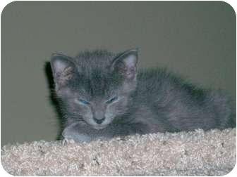 Domestic Shorthair Kitten for adoption in Cincinnati, Ohio - Puck