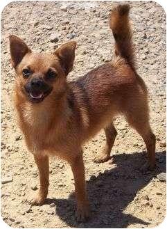 Pomeranian/Chihuahua Mix Dog for adoption in Staunton, Virginia - Prince Charming