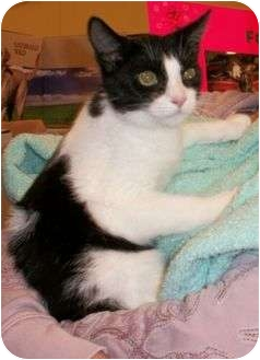 Domestic Shorthair Kitten for adoption in Reston, Virginia - Cookie