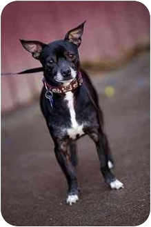 Chihuahua Mix Dog for adoption in Portland, Oregon - Henry
