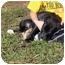 Photo 3 - Labrador Retriever Mix Puppy for adoption in Allentown, Pennsylvania - What