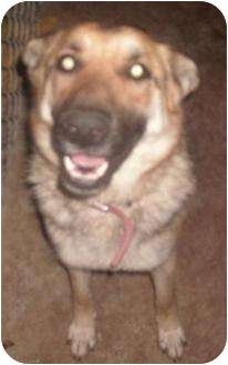 German Shepherd Dog Dog for adoption in Las Cruces, New Mexico - Darma