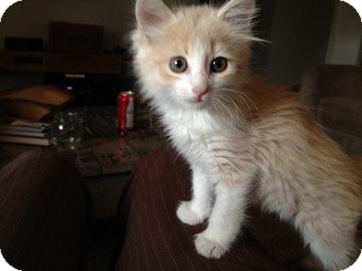 Domestic Mediumhair Kitten for adoption in Tustin, California - Cookie
