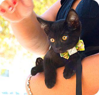 Domestic Shorthair Kitten for adoption in Santa Monica, California - Brinkley