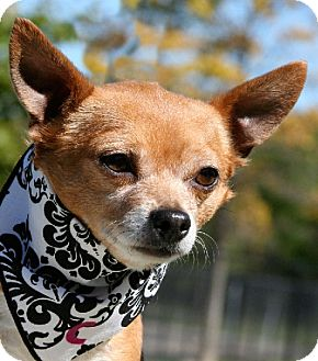 Chihuahua Dog for adoption in Bridgeton, Missouri - Chico