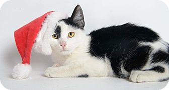Domestic Shorthair Kitten for adoption in Brownstown, Michigan - Phantom
