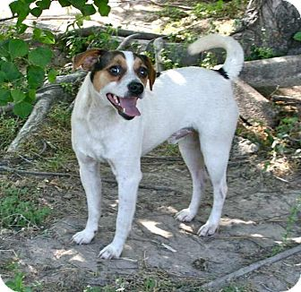 Jack Russell Terrier Mix Dog for adoption in Houston, Texas - Dudley in Houston