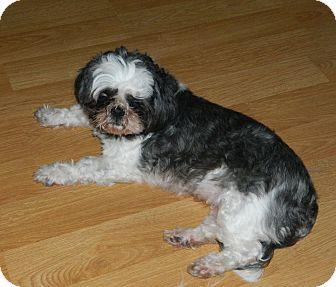 Shih Tzu Dog for adoption in Conesus, New York - Sparkle
