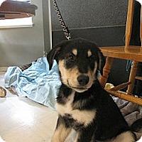 Adopt A Pet :: George - Surrey, BC