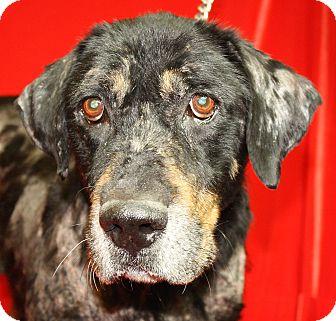 Rottweiler/German Shepherd Dog Mix Dog for adoption in Jackson, Michigan - Ben