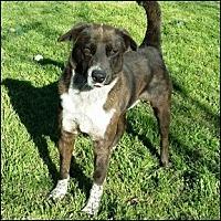 Australian Cattle Dog Mix Dog for adoption in Shreveport, Louisiana - Tanker