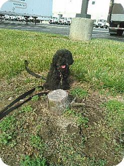 Toy Poodle Dog for adoption in Cincinnati, Ohio - Molly