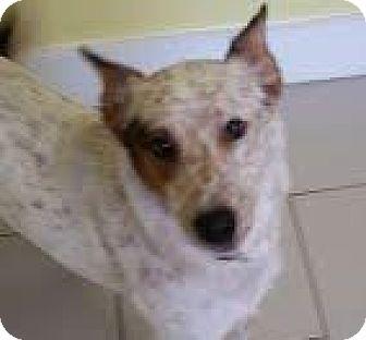 Australian Cattle Dog Mix Dog for adoption in Philadelphia, Pennsylvania - Ginger