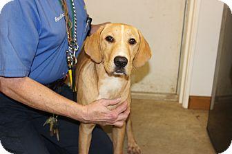 Labrador Retriever Mix Puppy for adoption in Hershey, Pennsylvania - Birdie