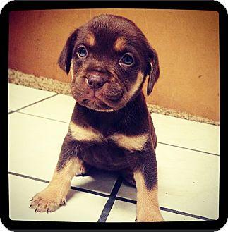 Labrador Retriever Mix Puppy for adoption in Grand Bay, Alabama - Mizzie