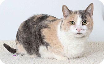Domestic Shorthair Cat for adoption in San Andreas, California - Adele