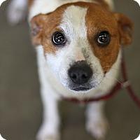 Adopt A Pet :: Jolene - Minneapolis, MN