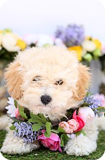 Maltese/Poodle (Miniature) Mix Puppy for adoption in Auburn, California - Diana