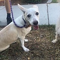 Chihuahua/Terrier (Unknown Type, Small) Mix Dog for adoption in Bakersfield, California - Truble
