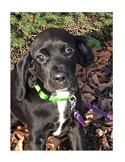 Spaniel (Unknown Type)/Beagle Mix Puppy for adoption in LaGrange, Kentucky - GIGGLES