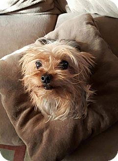 Yorkie, Yorkshire Terrier/Cairn Terrier Mix Dog for adoption in Overland Park, Kansas - Tweeny