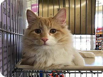 Domestic Mediumhair Cat for adoption in Sterling Hgts, Michigan - Lorenzo (lap cat)