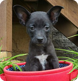 Terrier (Unknown Type, Small)/Chihuahua Mix Puppy for adoption in Bridgeton, Missouri - Ryder-ADOPTION PENDING