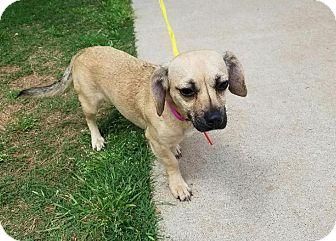 Dachshund/Pug Mix Dog for adoption in Stillwater, Oklahoma - Suzu