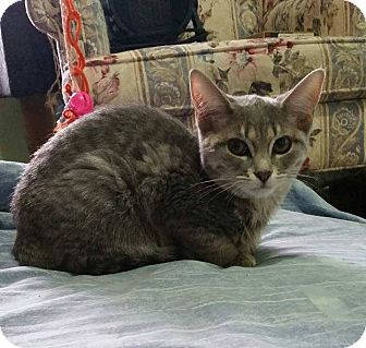 Domestic Shorthair Cat for adoption in Lindsay, Ontario - Skiddles
