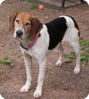Foxhound/Hound (Unknown Type) Mix Dog for adoption in Fairfax, Virginia - Fancy