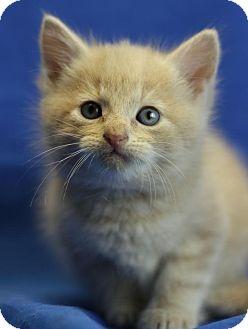 Domestic Shorthair Kitten for adoption in Winston-Salem, North Carolina - Toby
