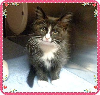 Domestic Mediumhair Kitten for adoption in Marietta, Georgia - TABITHA - available 6/10