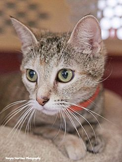 Domestic Shorthair Cat for adoption in Nashville, Tennessee - Sage