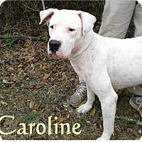 Dogo Argentino Mix Dog for adoption in Ozark, Alabama - Caroline