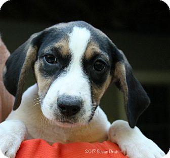 Blue Heeler/Terrier (Unknown Type, Medium) Mix Puppy for adoption in Bedford, Virginia - Angel