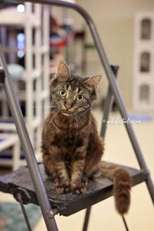 Domestic Mediumhair/Domestic Shorthair Mix Cat for adoption in collingwood, Ontario - Gendry