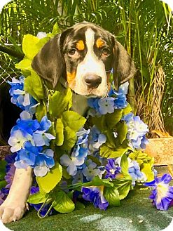 Greater Swiss Mountain Dog Mix Puppy for adoption in West Palm Beach, Florida - Walton