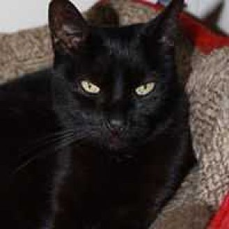American Shorthair Cat for adoption in Central Islip, New York - Onyx