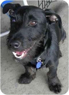 Scottie, Scottish Terrier Mix Dog for adoption in Vista, California - Ozzi